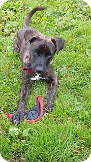 Boxer/Australian Shepherd Mix Dog for adoption in Baudette, Minnesota - COACH