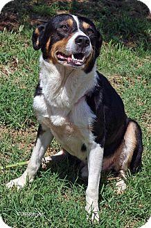Australian Shepherd Mix Dog for adoption in Scottsdale, Arizona - Roger