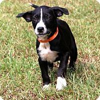 Adopt A Pet :: Opal~ meet me! - Glastonbury, CT