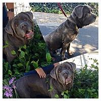 Adopt A Pet :: Bo - Sacramento, CA