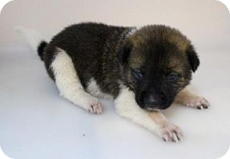 Keeshond Mix Puppy for adoption in Chester Springs, Pennsylvania - Roo