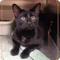 Domestic Shorthair Cat for adoption in Marietta, Georgia - HUNTER-available 10/19