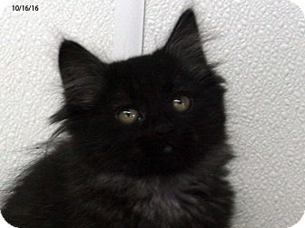Domestic Mediumhair Kitten for adoption in Republic, Washington - Burgundy