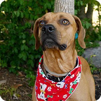 Redbone Coonhound Mix Dog for adoption in Ardmore, Pennsylvania - Buzz
