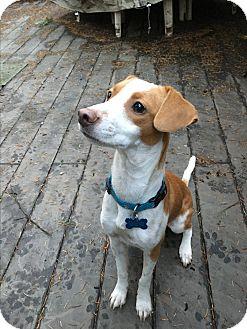 Whippet Mix Dog for adoption in Gig Harbor, Washington - Karma