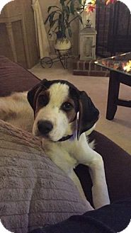 Beagle/Coonhound (Unknown Type) Mix Puppy for adoption in Pataskala, Ohio - Macey