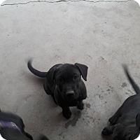 Adopt A Pet :: Mystique - El Paso, TX
