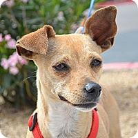 Adopt A Pet :: Lollipop - Gilbert, AZ