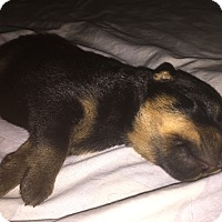 Adopt A Pet :: Purebred litter of rottie - Gilbert, AZ