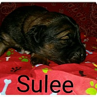 Adopt A Pet :: Sulee - Broken Arrow, OK