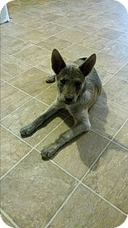 Australian Kelpie/German Shepherd Dog Mix Puppy for adoption in Leming, Texas - Cheyenne