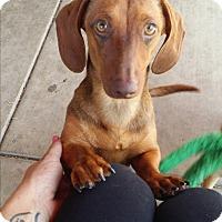 Adopt A Pet :: Winnie - Rancho Cucamonga, CA