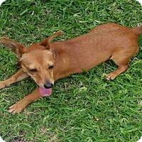 Adopt A Pet :: A385876 - San Antonio, TX
