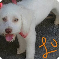 Poodle (Miniature)/Maltese Mix Dog for adoption in San Diego, California - Luna