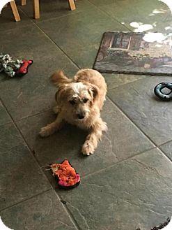 Poodle (Miniature)/Terrier (Unknown Type, Medium) Mix Dog for adoption in Albuquerque, New Mexico - Luna
