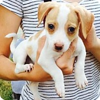 Adopt A Pet :: CHLOE - Rossford, OH