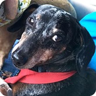 Dachshund Dog for adoption in Houston, Texas - Bubba Bayleef
