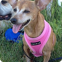 Dachshund/Chihuahua Mix Dog for adoption in Frankfort, Illinois - Ally