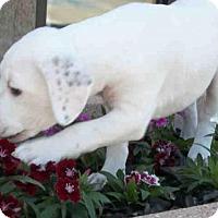 Adopt A Pet :: *SUGAR - Jackson, CA