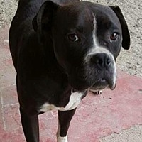 Boxer Dog for adoption in Long Beach, California - Riley