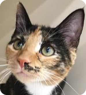 Domestic Shorthair Kitten for adoption in Franklin, West Virginia - Harriet