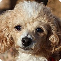 Toy Poodle Dog for adoption in Colorado Springs, Colorado - Lady Chatterley