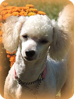 Poodle (Toy or Tea Cup)/Bichon Frise Mix Dog for adoption in Anderson, South Carolina - Petey