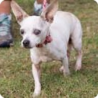Chihuahua Mix Dog for adoption in Summerville, South Carolina - Pearl