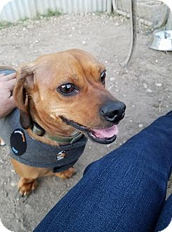 Dachshund Mix Dog for adoption in Jarrell, Texas - Jesse James