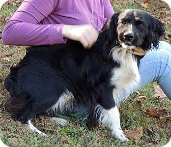 Springer Spaniel Mix Dog for adoption in Joplin, Missouri - Scout