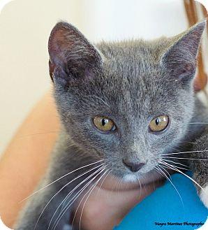 Domestic Shorthair Kitten for adoption in Nashville, Tennessee - Charlie
