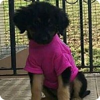 Adopt A Pet :: Chloe McGee-pending - Hillside, IL
