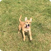 Adopt A Pet :: Akela - Newport, KY