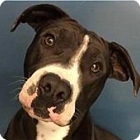 Adopt A Pet :: Stanley - Springdale, AR