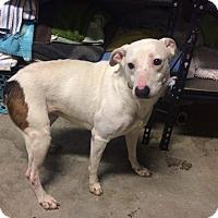 Adopt A Pet :: Zara - Manassas, VA