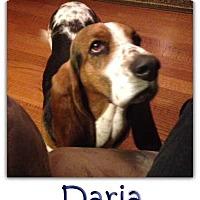 Adopt A Pet :: Daria - Marietta, GA
