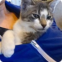 Adopt A Pet :: Bashir - St. Louis, MO