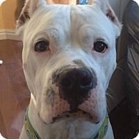 Dogo Argentino Dog for adoption in Henderson, Nevada - Ivory