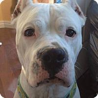 Adopt A Pet :: Ivory - Henderson, NV
