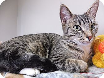 Domestic Shorthair Cat for adoption in Creston, British Columbia - Stripes