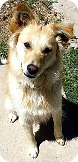 Golden Retriever/Border Collie Mix Dog for adoption in Boulder, Colorado - Blaze-ADOPTION PENDING