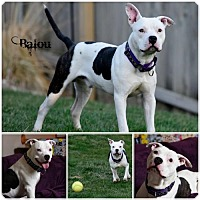 Adopt A Pet :: Balou - Sioux Falls, SD
