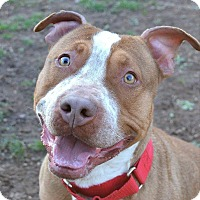 American Staffordshire Terrier Mix Dog for adoption in Cranford, New Jersey - Brody