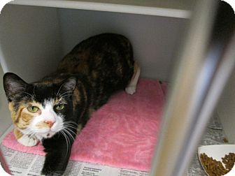 Domestic Shorthair Cat for adoption in Cumming, Georgia - Fiona