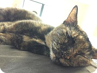 Domestic Shorthair Cat for adoption in Boca Raton, Florida - Sweets