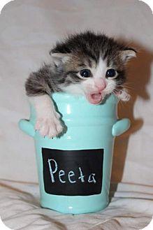 Domestic Shorthair Kitten for adoption in Fredericksburg, Virginia - Peeta