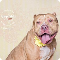 Adopt A Pet :: Amani - Rocky Hill, CT