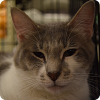 Adopt A Pet :: Kit - Washington, PA