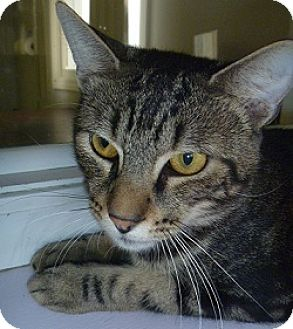 Domestic Mediumhair Cat for adoption in Hamburg, New York - Harrison