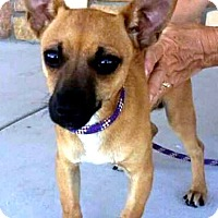 Adopt A Pet :: Lil' Sailor Boy - Tijeras, NM